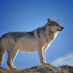 痩せる狼のダイエット